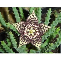 HUERNIA (flor pequeña)